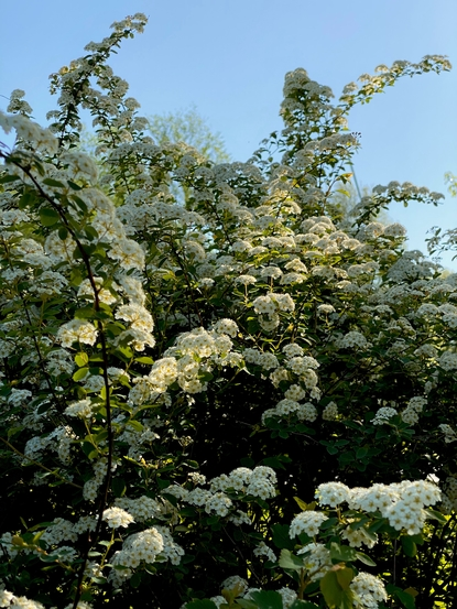 Busch in voller weisser Blütenpracht.